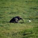Baby elephant, Amboseli
