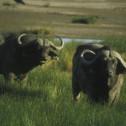 Cape Buffalo, Amboseli