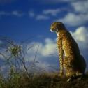 Cheetah 2, Masai Mara ver 2