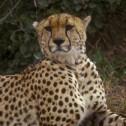 Cheetah 3, Masaai Mara ver 2